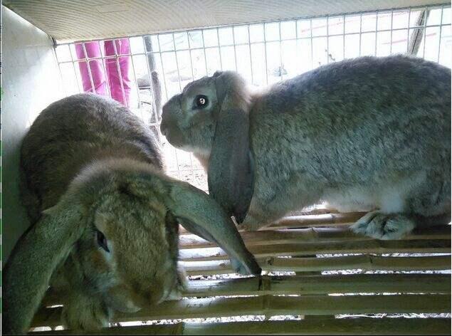 塞北兔品种 塞北兔有什么品种