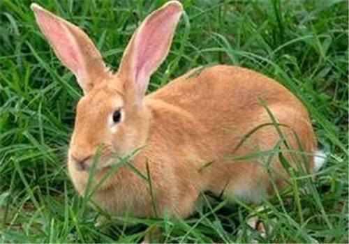虎皮黄兔的繁殖