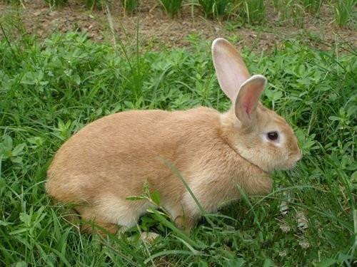 虎皮黄兔是什么品种