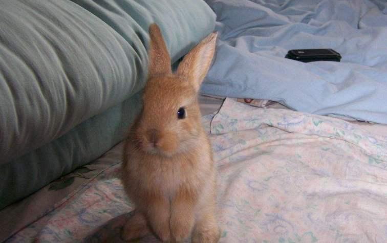 虎皮黄兔怎么养 虎皮黄兔喜欢吃什么