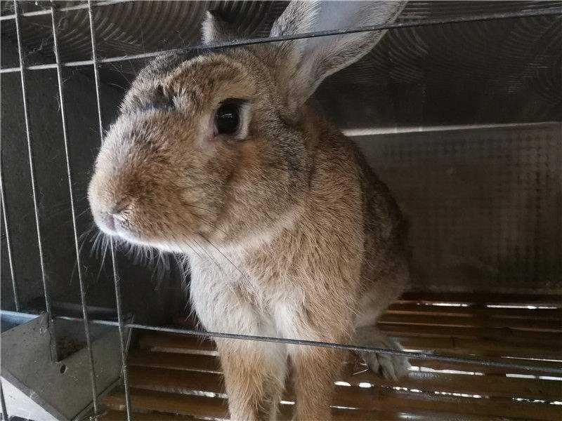 虎皮黄兔饲养 虎皮黄兔吃什么