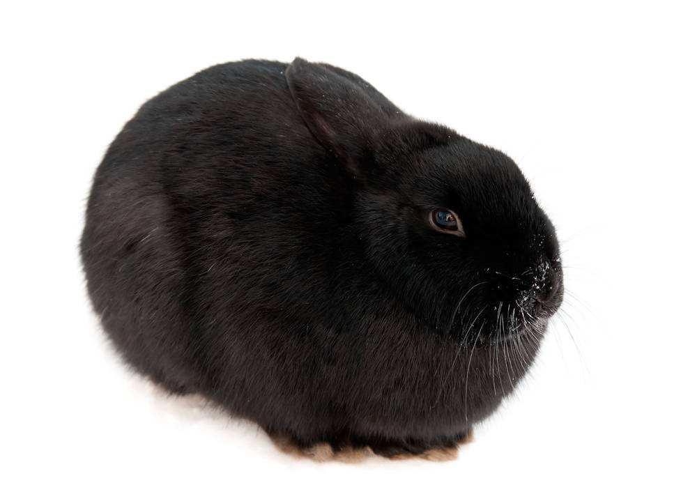 黑色獭兔品种