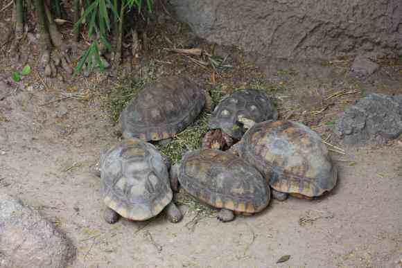 红腿陆龟多大可以繁殖 红腿陆龟多久成年
