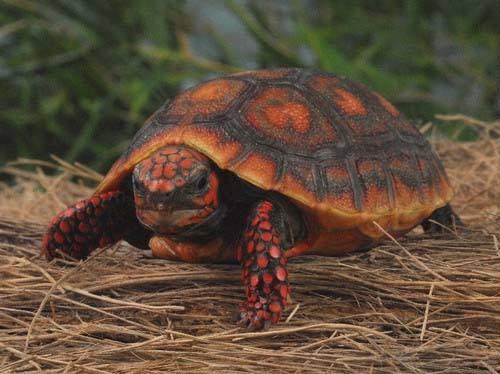红腿陆龟认识主人吗 红腿陆龟认主人吗