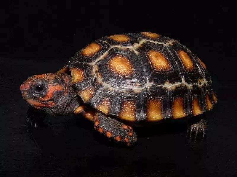 红腿陆龟咬人吗 红腿陆龟会咬人吗