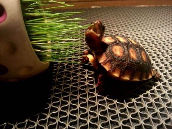 红腿陆龟吃肉吗 红腿陆龟可以吃肉吗