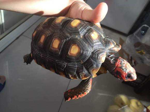 红腿陆龟吃仙人掌吗