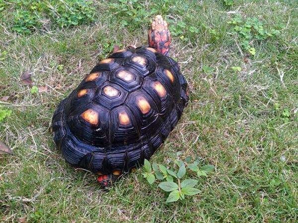 红腿陆龟吃什么蔬菜