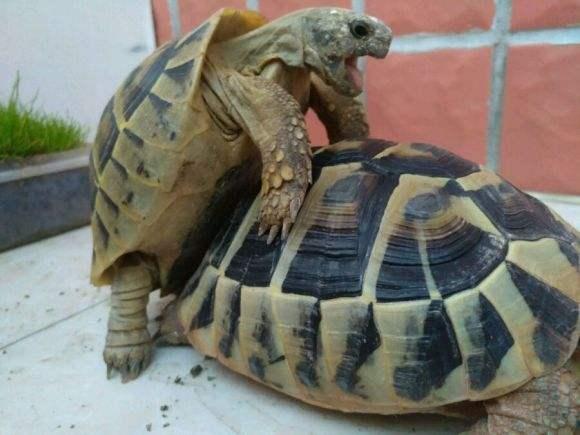 赫曼陆龟保护等级 赫曼陆龟是几级保护