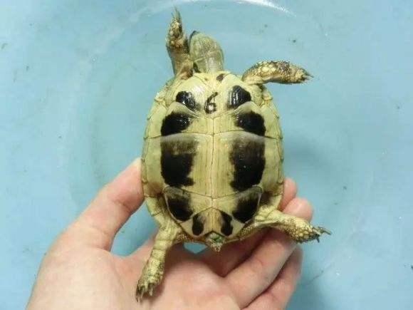 赫曼陆龟怎么排酸