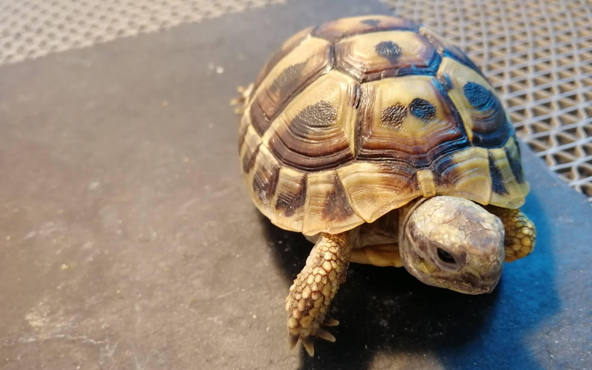 赫曼陆龟泡澡泡几分钟 赫曼陆龟每天泡澡几分钟