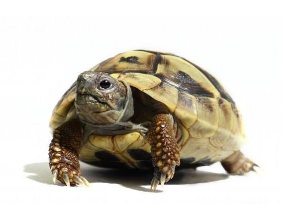 赫曼陆龟怎么分公母 赫曼陆龟区分性别