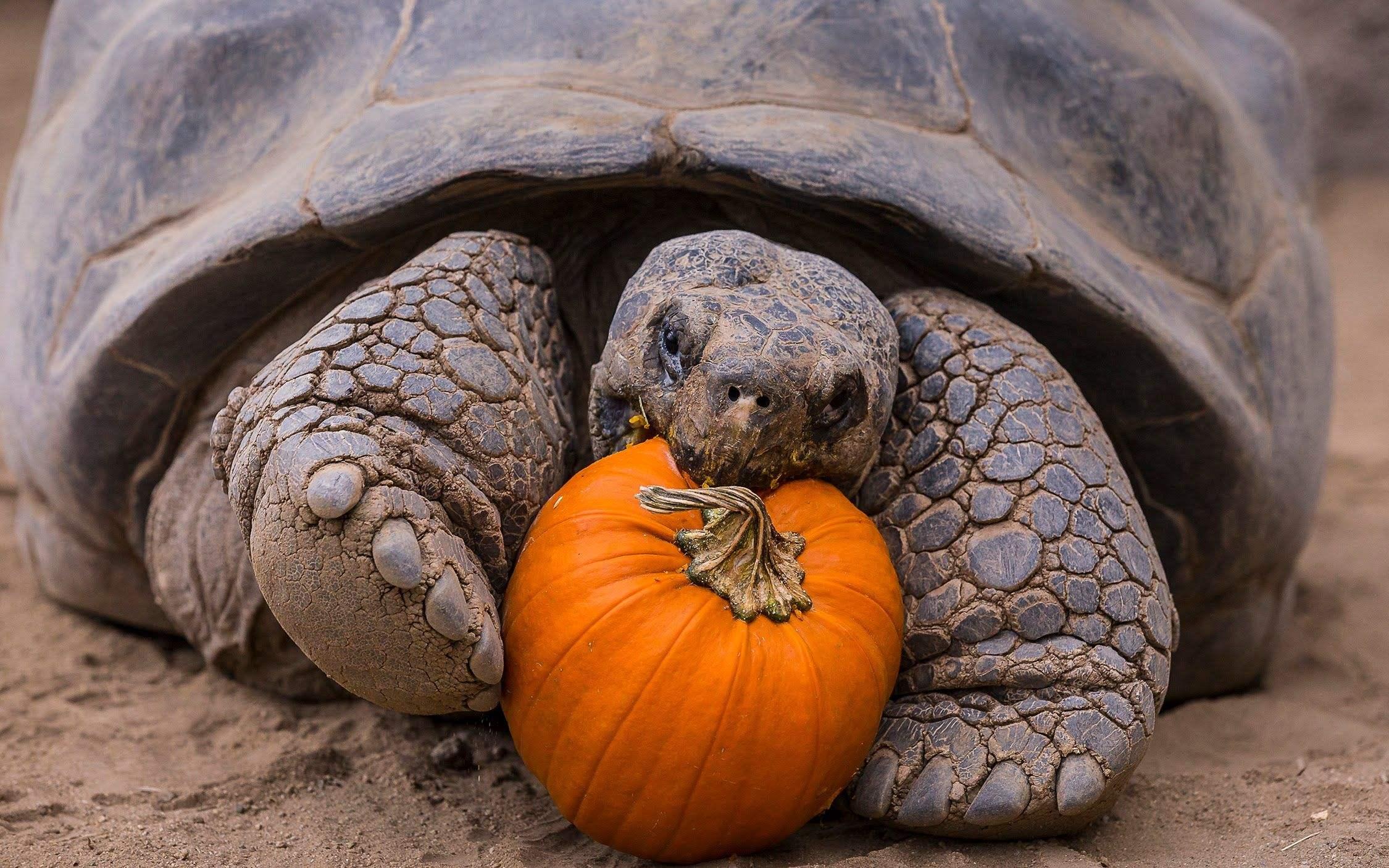 加拉帕戈斯象龟和亚达的区别