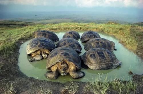 加拉帕戈斯象龟吃什么
