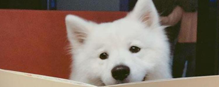 白色犬种类
