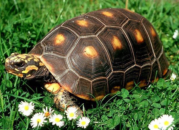 水养黄腿象龟注意什么