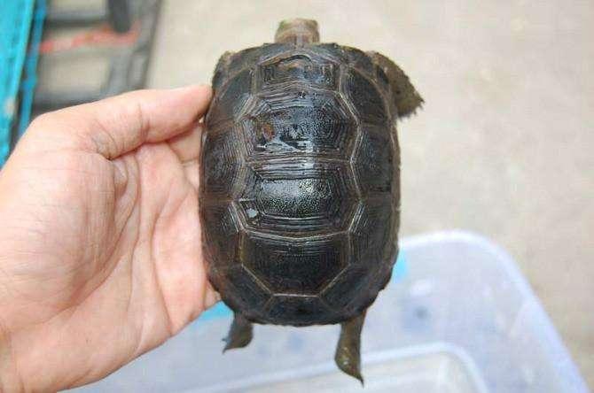 黄腿象龟可以泡水里养吗 黄腿象龟怎么养需要水吗
