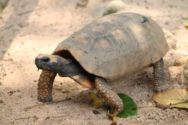 黄腿象龟是保护动物吗