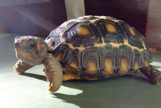 黄腿象龟好养吗 黄腿象龟怎么养