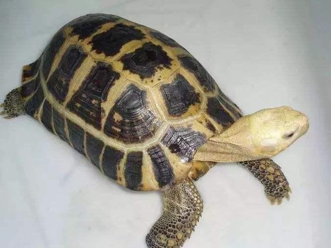 缅甸陆龟能长多大 缅甸陆龟大小