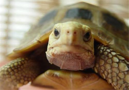 缅甸陆龟需要水养吗 缅甸陆龟需要水吗