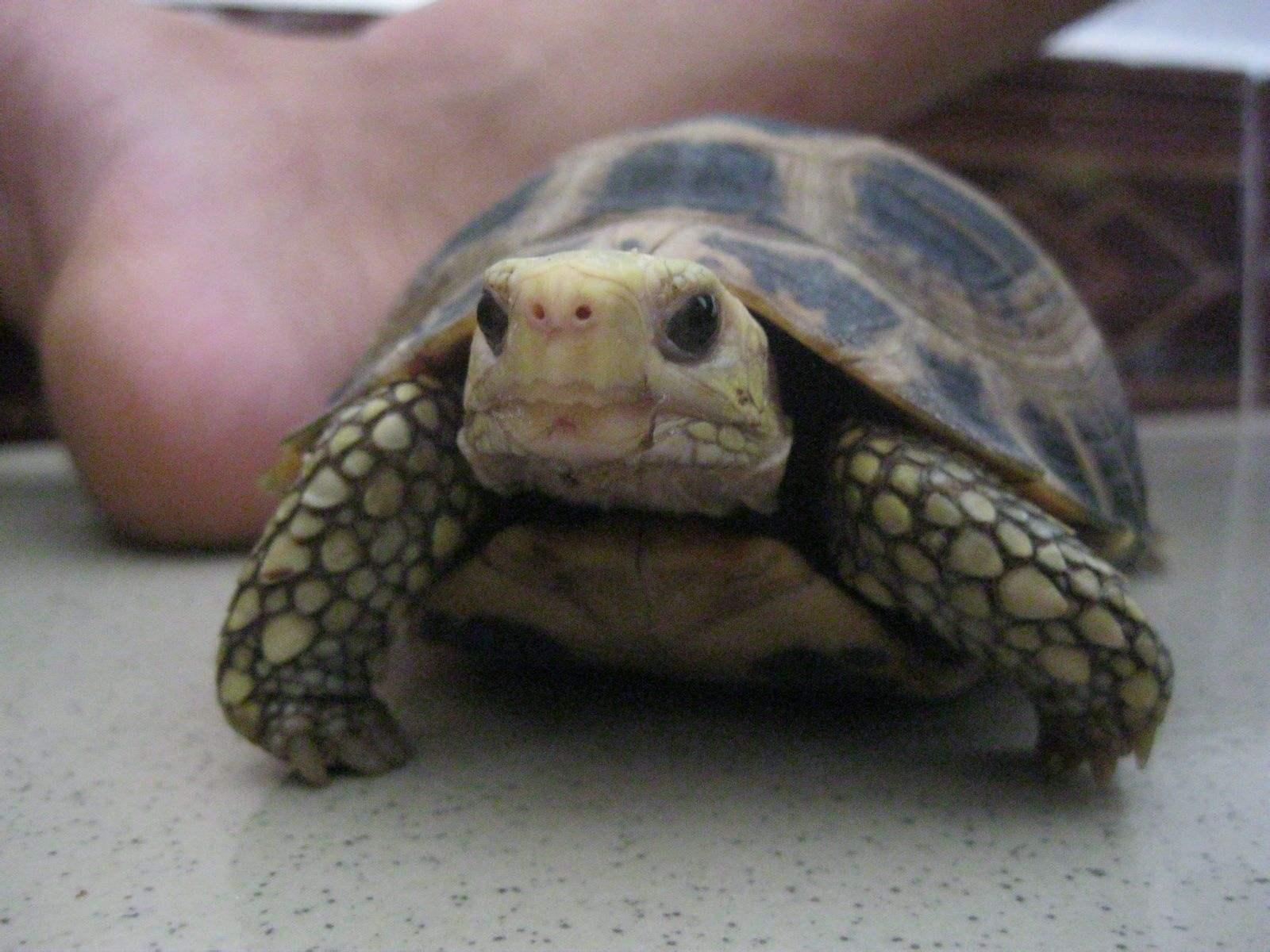 缅甸陆龟挑选 缅甸陆龟怎么挑选