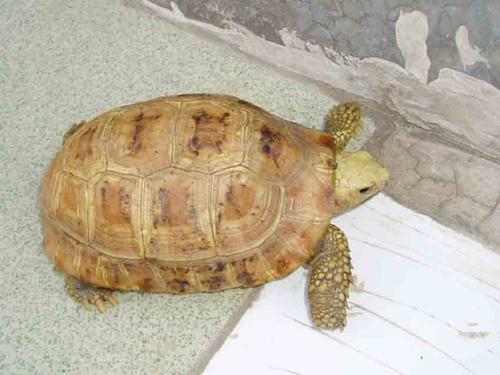 缅甸陆龟不冬眠可以吗