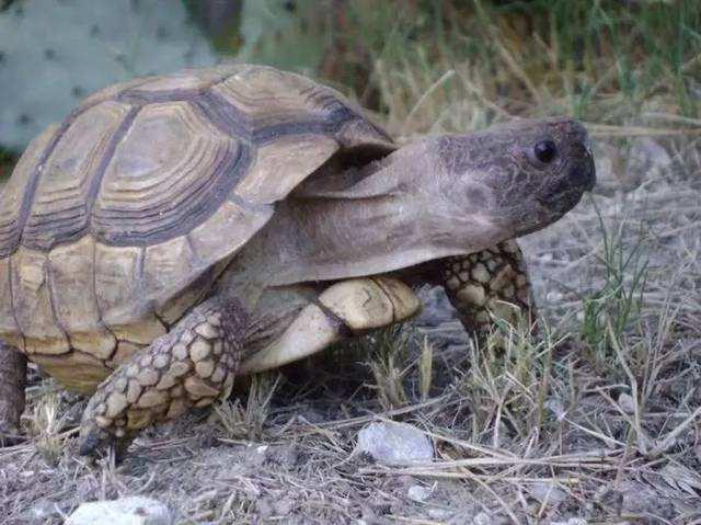 阿根廷象龟多大