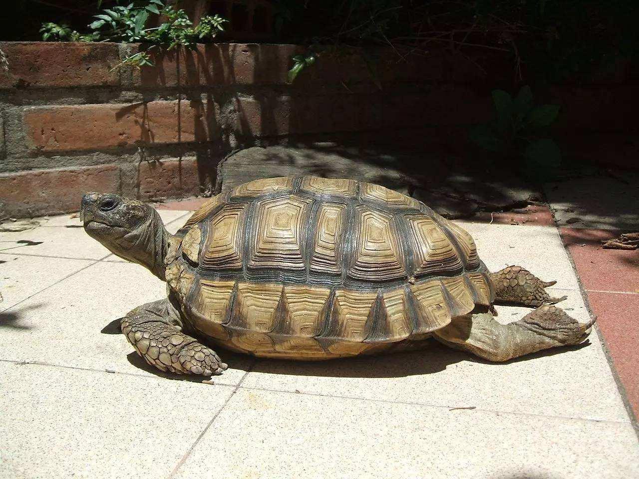 阿根廷象龟寿命 阿根廷象龟的寿命