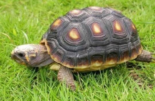 阿根廷象龟好养吗