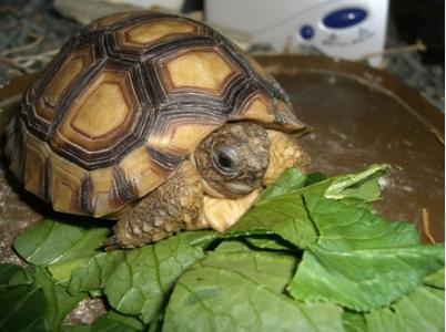 阿根廷象龟吃什么