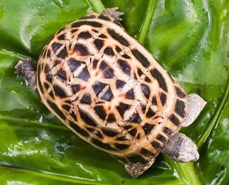 蛛网陆龟好养吗