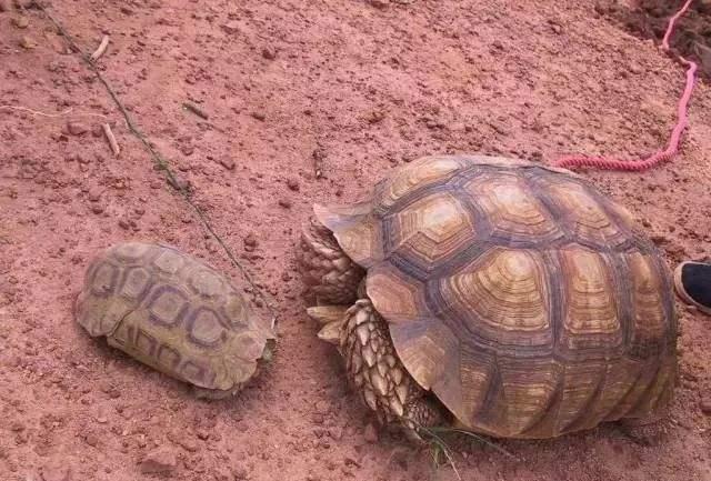 钟纹折背陆龟公母的区分