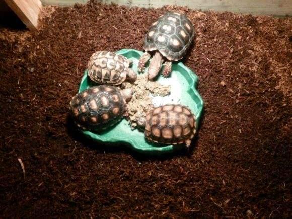 钟纹折背陆龟能闭壳吗