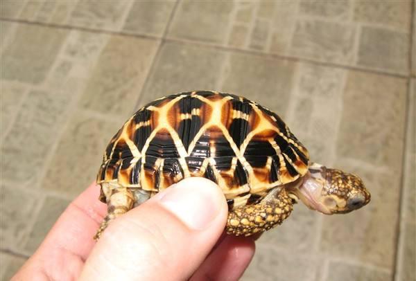 印度星龟能活多久