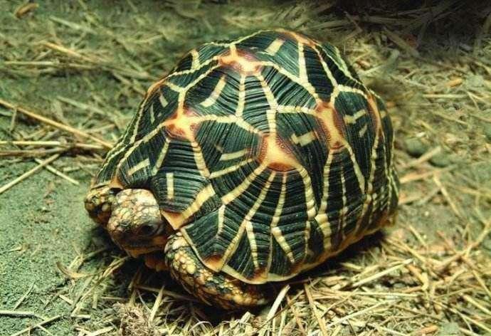 印度星龟饲养方法 印度星龟的饲养