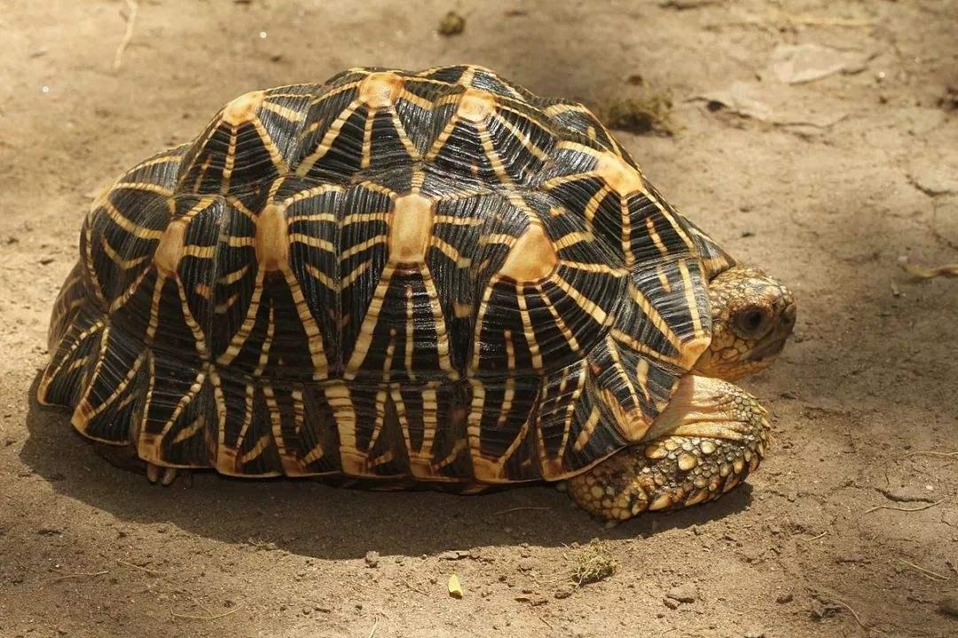 印度星龟喜欢吃什么