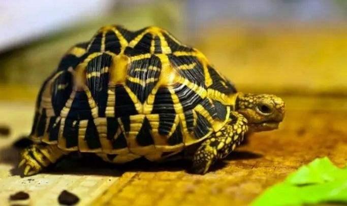 印度星龟几岁性成熟