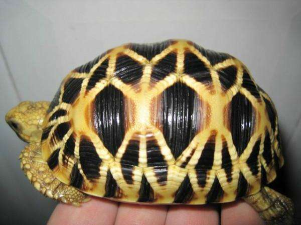 印度星龟湿度怎么控制