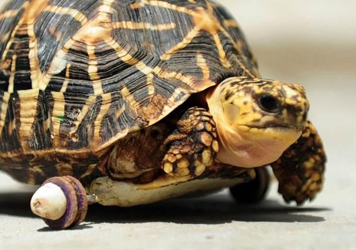 印度星龟寓意