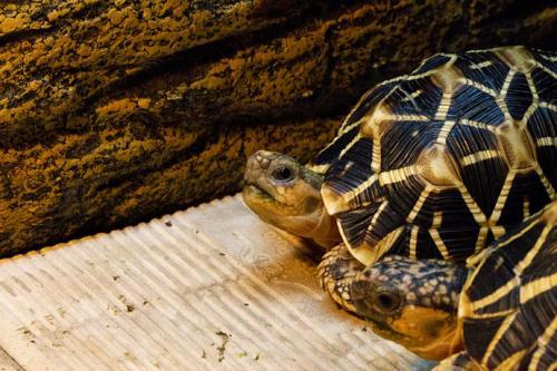 印度星龟能长多大 印度星龟成体多大