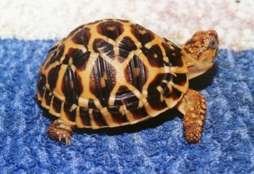 印度星龟如何分辨公母