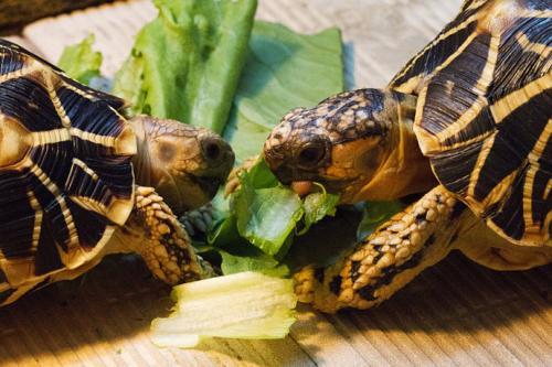 印度星龟公母能一起养吗