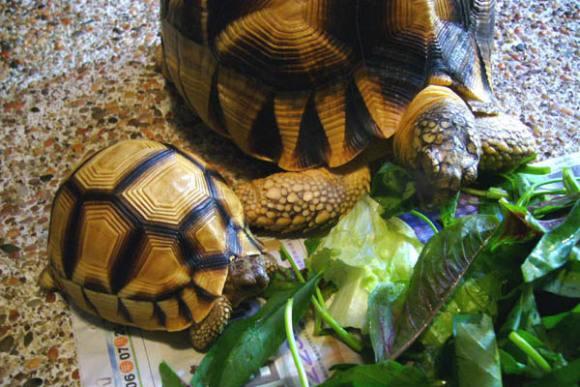 安哥洛卡陆龟与辐射龟的区别