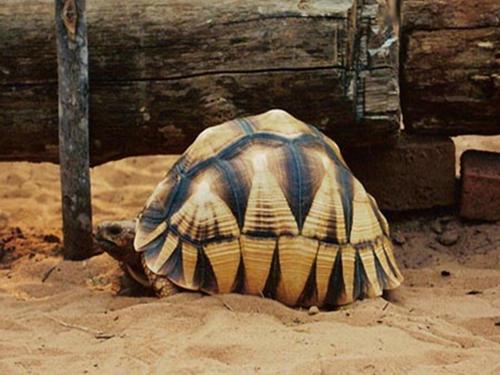 安哥洛卡陆龟多少钱 安哥洛卡陆龟什么价格