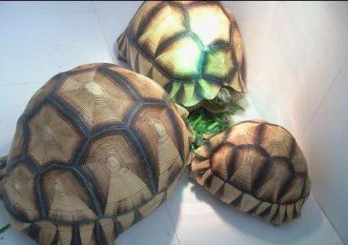 安哥洛卡陆龟寿命多久
