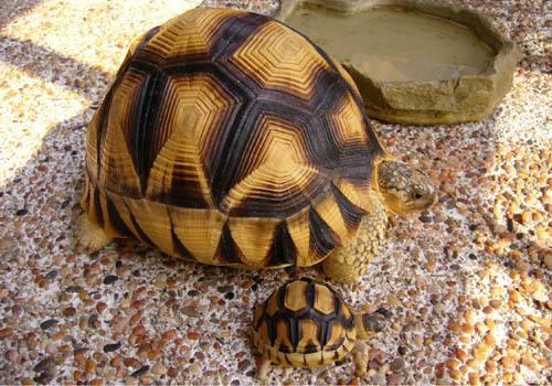 安哥洛卡陆龟繁殖