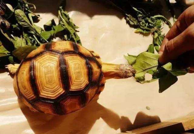 安哥洛卡陆龟是几级保护动物