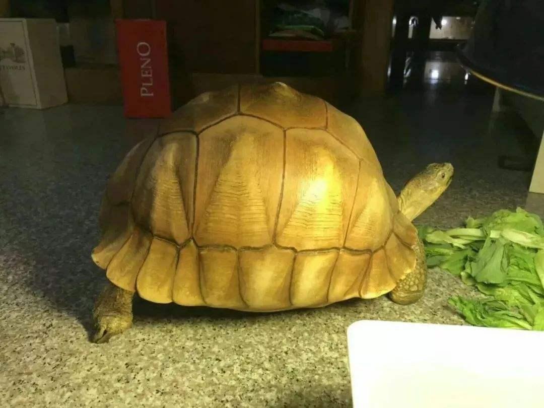 安哥洛卡陆龟可以养吗