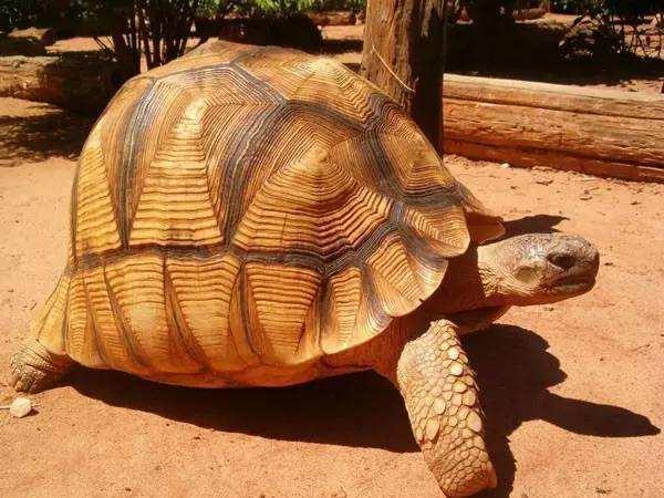 安哥洛卡陆龟如何分公母龟